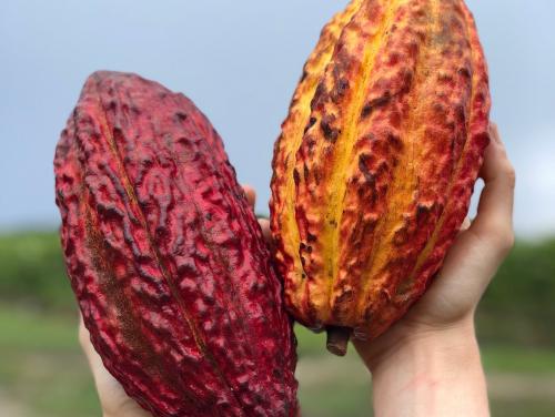 A legkülönlegesebb kakaófajták nyomában