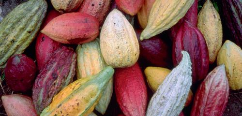 criollo-cocoa-a-qualitative-study-on-his-potential.jpg